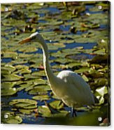 Great White Egret Perched On A Rock Acrylic Print
