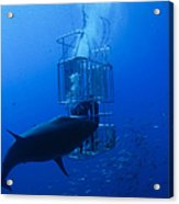 Great White Shark And Divers, Guadalupe Acrylic Print