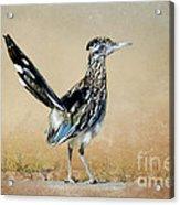 Greater Roadrunner Acrylic Print