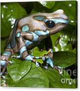Green And Black Poison Frog Acrylic Print