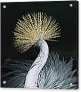 Grey Crowned Crane Balearica Regulorum Acrylic Print