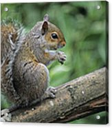 Grey Squirrel Acrylic Print by David Aubrey