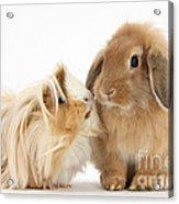 Guinea Pig And Rabbit Acrylic Print