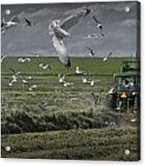 Gull Chased Tractor Acrylic Print