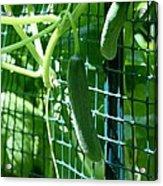 Hanging Cucumbers Acrylic Print