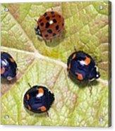 Harlequin Ladybirds Acrylic Print