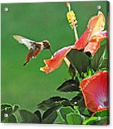 Hibiscus Hummer Acrylic Print