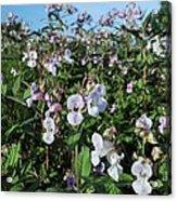 Himalayan Balsam (impatiens Glandulifer) Acrylic Print