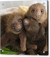 Hoffmanns Two-toed Sloth Choloepus Acrylic Print