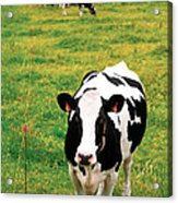 Holstein Dairy Cattle Acrylic Print