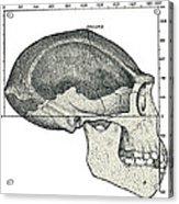 Homo Erectus Skull Acrylic Print