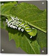 Hornworm With Braconid Wasp Parasites 2 Acrylic Print