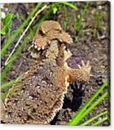 Horny Toad Lizard Acrylic Print