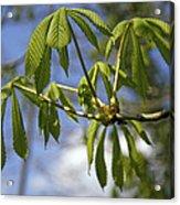 Horse Chestnut (aesculus Hippocastanum) Acrylic Print