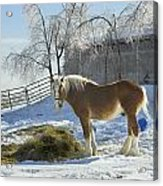 Horse On Maine Farm After Snow And Ice Storm Acrylic Print