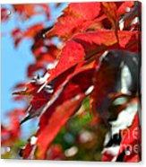Hot Autumn Leaves Acrylic Print