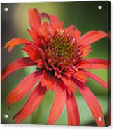 Hot Papaya Coneflower Squared Acrylic Print