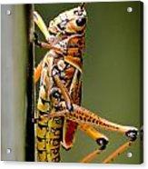 Hubber Grasshopper Acrylic Print