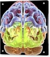Human Brain Anatomy, Artwork Acrylic Print