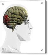 Human Brain, Occipital Lobe Acrylic Print