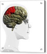 Human Brain, Parietal Lobe Acrylic Print