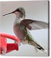 Hummingbird With Wings Back Acrylic Print