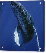Humpback Whale Singer Maui Hawaii Acrylic Print