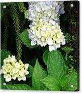 Hydrangea Blooming Acrylic Print