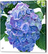 Hydrangea (hydrangea Macrophylla) Acrylic Print