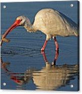 Ibis With Shrimp Acrylic Print
