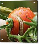 Immature Tomatoes Acrylic Print