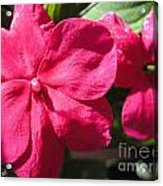 Impatiens Named Dazzler Burgundy Acrylic Print