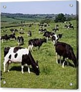 Ireland Friesian Cattle Acrylic Print