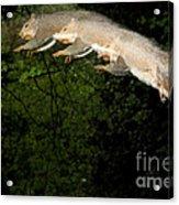 Jumping Gray Squirrel Acrylic Print