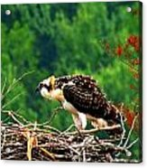 Juvenile Osprey 6493 Acrylic Print
