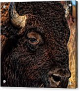 Kansas Buffalo Acrylic Print