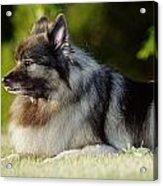 Keeshond Dog, Winnipeg, Manitoba Acrylic Print