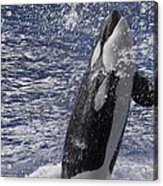 Killer Whale Acrylic Print