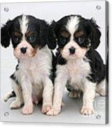 King Charles Spaniel Puppies Acrylic Print by Jane Burton