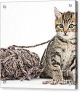 Kitten With Yarn Acrylic Print