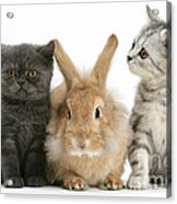Kittens And Rabbit Acrylic Print