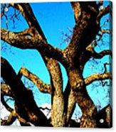 Knarled Oak Tree Acrylic Print