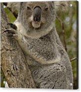 Koala Phascolarctos Cinereus Portrait Acrylic Print by Pete Oxford