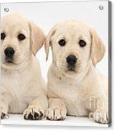 Labrador Retriever Puppies Acrylic Print