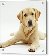 Labrador X Golden Retriever Puppy Acrylic Print by Jane Burton