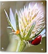 Ladybug On Thistle Acrylic Print