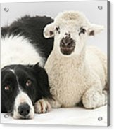 Lamb And Border Collie Acrylic Print