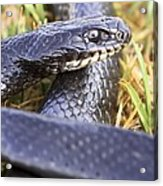Large Whipsnake (coluber Jugularis) Acrylic Print