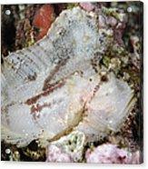 Leaf Scorpionfish, Indonesia Acrylic Print