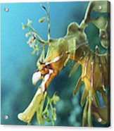 Leafy Sea Dragon Acrylic Print by Peter Scoones